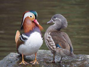 1199px-Pair_of_mandarin_ducks-FREE-© Francis C. Franklin